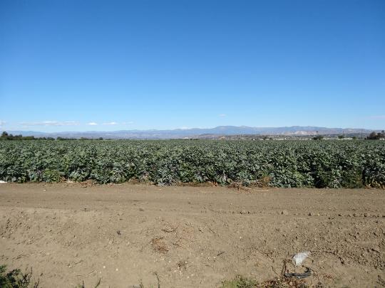 山のかなたまで芽キャベツ畑