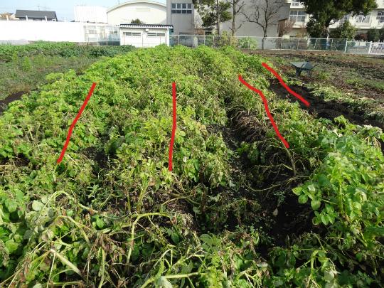 秋ジャガとして育ったキタカリの畝です。
