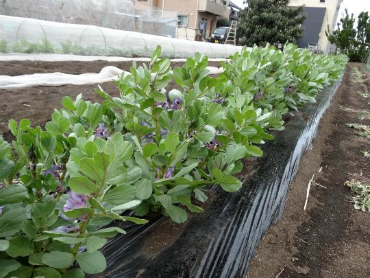 そら豆の花が満開です。