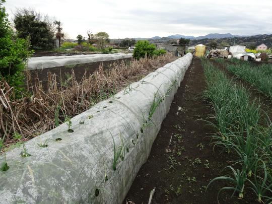 極早生のタマネギのトンネル栽培です。