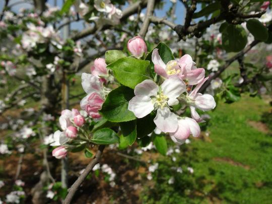 りんごの花が満開です。