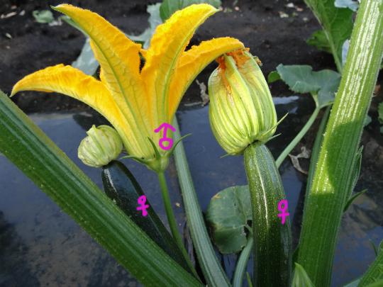 ズッキーニの雄花と雌花です。