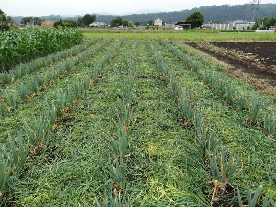 株ねぎの畝間の緑肥を刈取りました。
