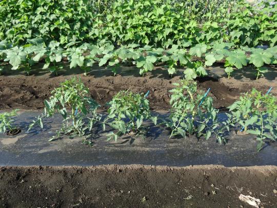 トマトの側枝を挿し芽した苗、オクラ、インゲンの生育状況
