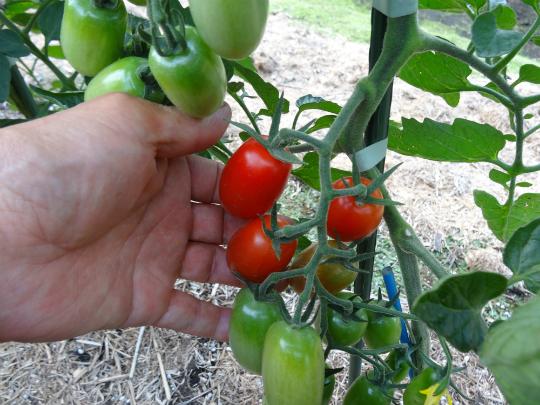 ミニトマト「アイコ」の写真です。