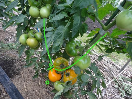 主幹ピンチ、側枝二本立てトマトの写真です。