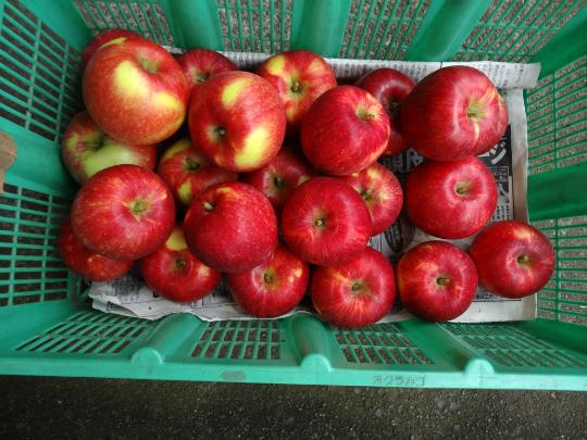 真っ赤になった相模原産のりんごを収穫しました。