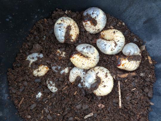 カブトムシの幼虫がバケツ三杯いました。
