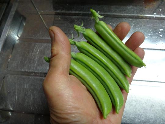 12月に収穫したスナップえんどうの写真です。