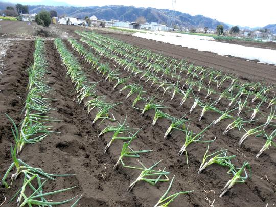移植が終わった株ねぎ畑の写真です。