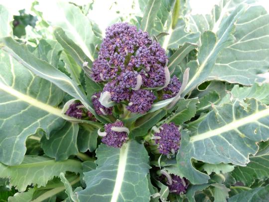 珍しい野菜「アレッタ」の写真です。