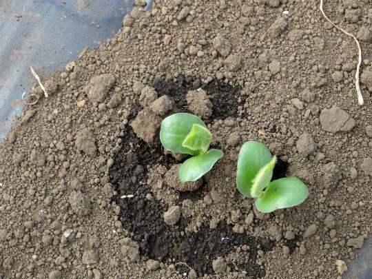枝豆の発芽中の写真です。