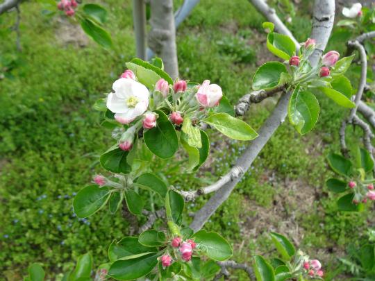 シナノレッドの花の写真です。