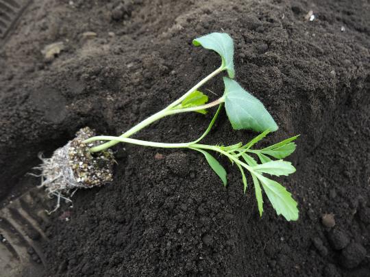 オクラとマリーゴールドの苗の写真です。