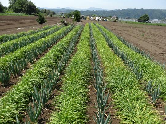 緑肥が大きくなった写真です。