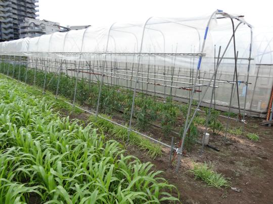 ビニールを張ったトマトの栽培施設の写真です。