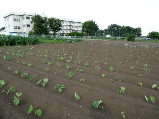 草むしりしてきれいになったサトイモ畑です。