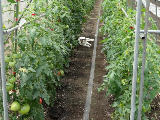 トマトの畝間でくつろぐ猫の写真です。