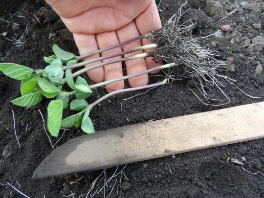 移植する枝豆の写真です。