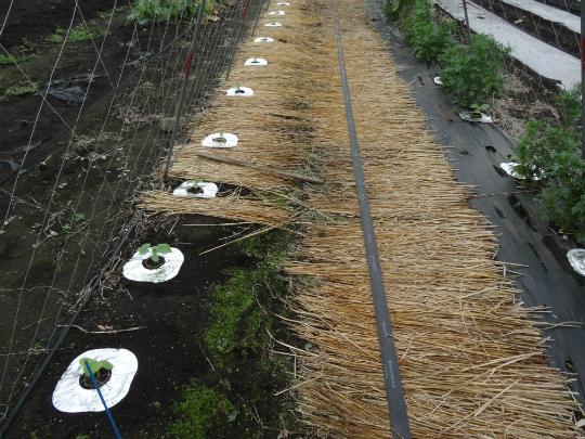 キュウリの苗を移植した所にレンジホイルを敷いた写真です。