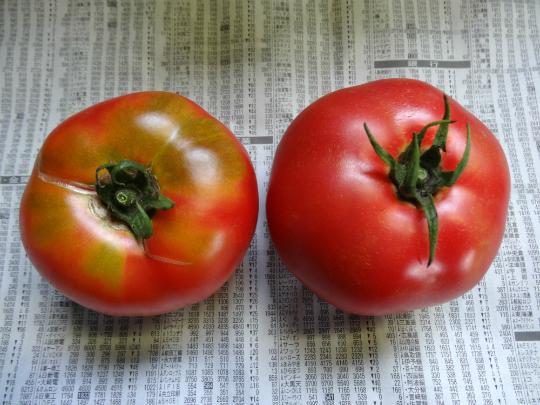 品種で違うトマトの外観