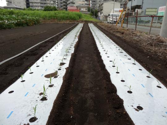 抑制栽培のとうもろこしの写真です。
