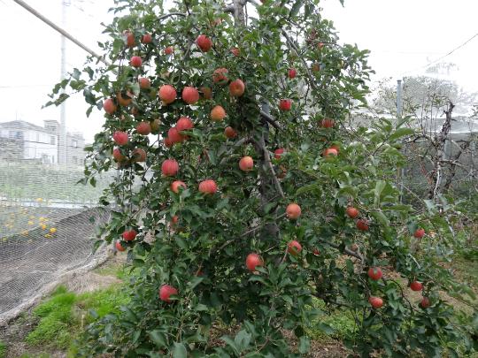 豊作なったふじりんごの写真