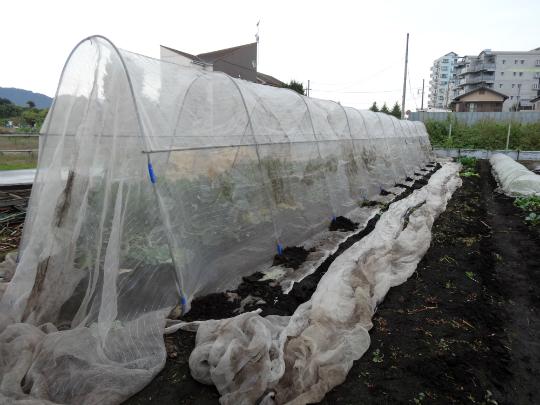 ケールの防鳥・防虫対策のために大きなネットで覆ったところです。