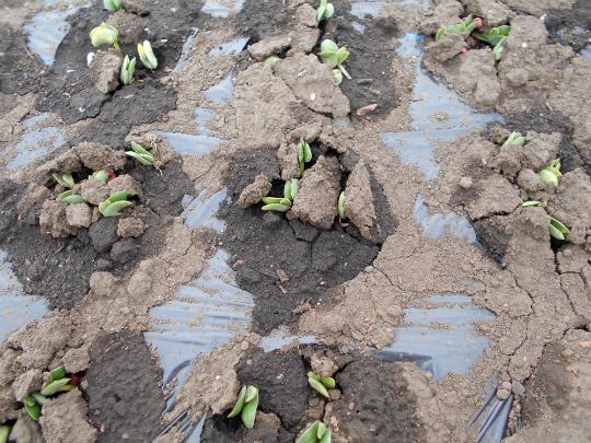 枝豆が発芽した写真です。