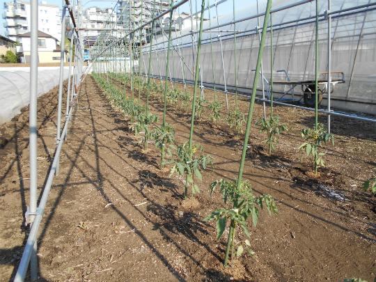 移植したトマトの苗の写真です。