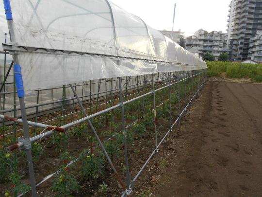 トマトに雨除けのビニールを張ったところです。