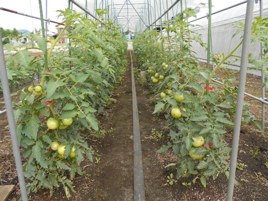順調な生育のトマトの写真です。