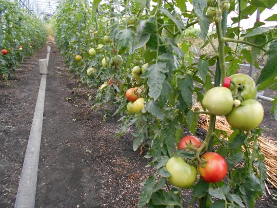 赤くなって来たトマトの写真です