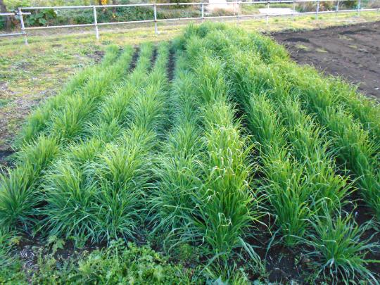 緑肥の試験栽培の様子です。
