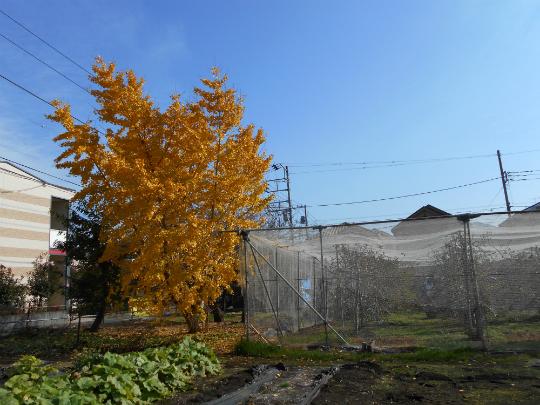 見事な紅葉のぎんなんの樹です