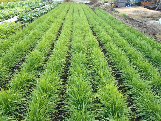 ライ麦の緑が心地良いです。