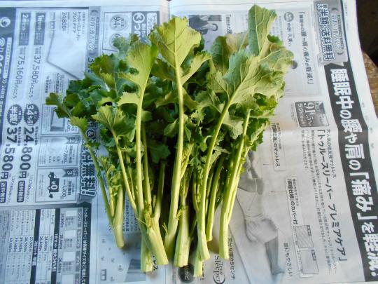 のらちゃん菜の写真です。