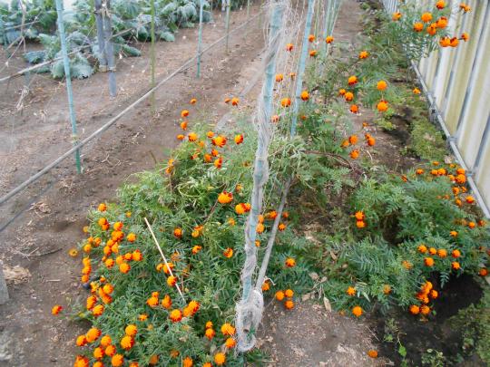 一二八分の一の奇跡 マリーゴールド エバーグリーン 相模原のりんご園