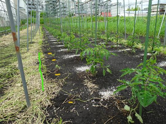 トマトの苗が活着したところです。