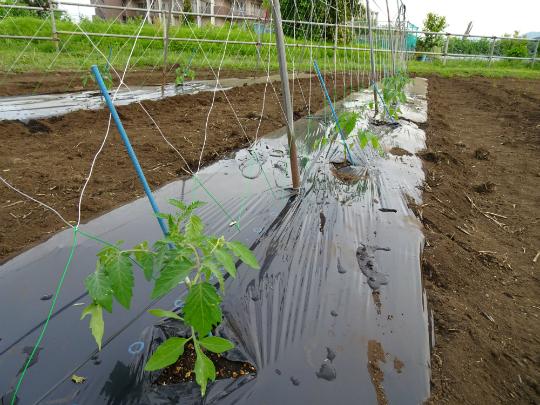 ソバージュ栽培の写真です。