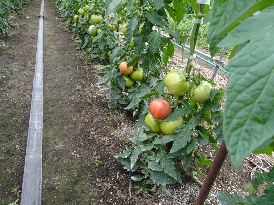 赤くなり始めたトマトの写真です。