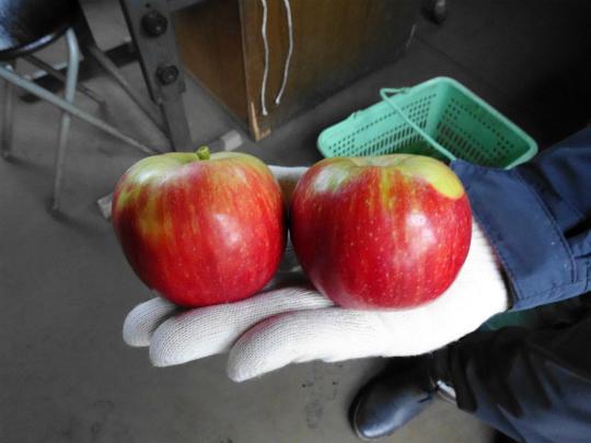 収穫したりんごの写真です。