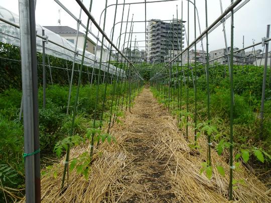 トマトの苗を移植した写真です。