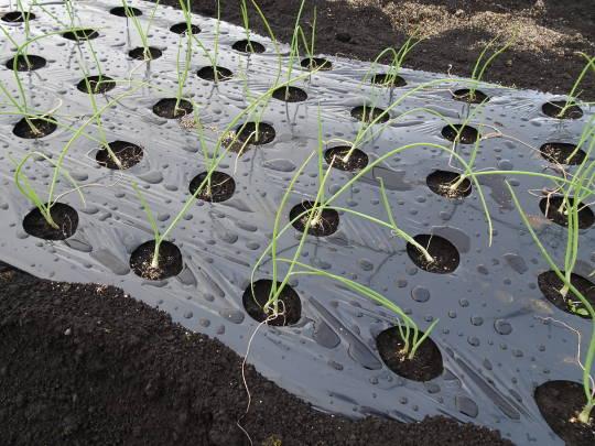 玉ねぎの苗を移植した写真です。